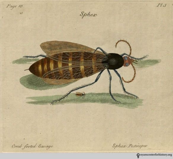 Plate 3, Sphex pectinipes, the comb footed savage. Click to enlarge.