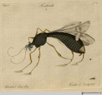 Plate 2, Tenthredo variegata, the mottled saw-fly.