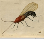 Plate 1, Tenthredo luctuosa, the mourning saw-fly.