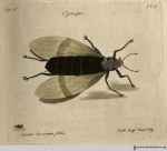 Plate 6, Cynips Quercus folii, the oak leaf gall fly.