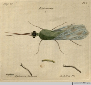 Plate 8: Ephemera rupestris, the Rock Day Fly. Click to enlarge.