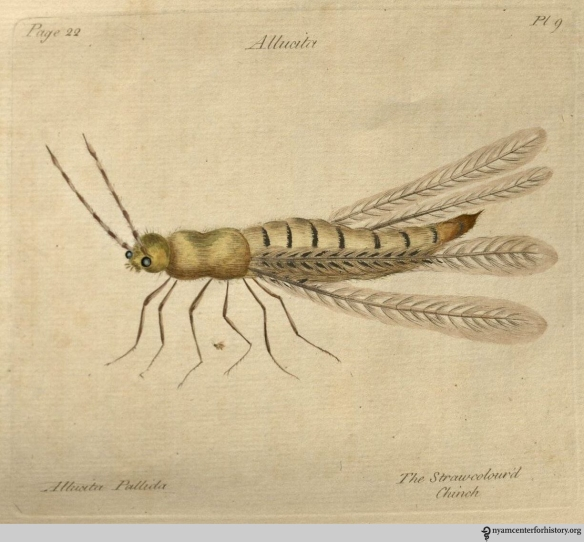 "Plate 9, Allucita Pallida, ""The Straw-colour'd Chinch."""