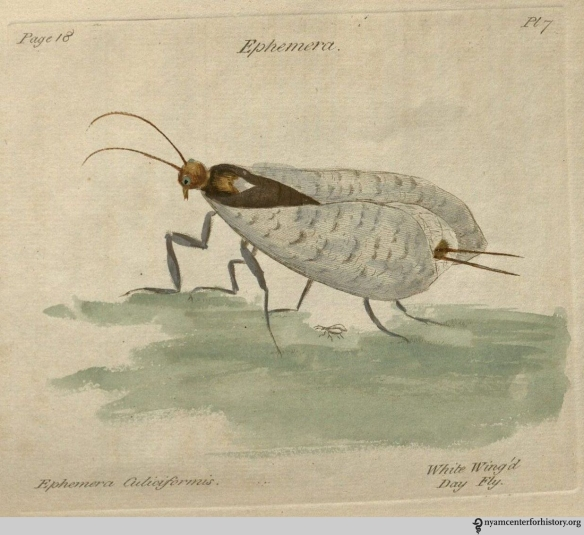 """Plate 7, Ephemera culiciformis, the """"white wing'd day fly."""" Click to enlarge."""