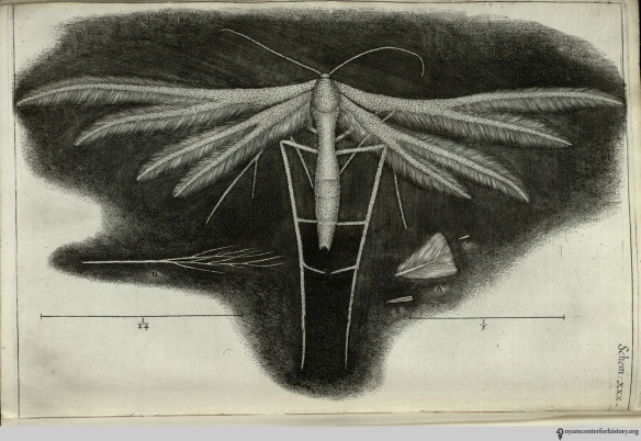 "Hooke seemed enamored with the white feather-winged moth, calling it a ""pretty insect"" and ""a lovely object both to the naked Eye, and through a Microscope."""
