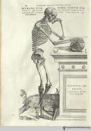 Andreas Vesalius (1514-1564). De humani corporis fabrica libri septum. Basel: Johannes Oporinus, 1543. Vesalius' De humani corporis fabrica is a monumental work, notable for its departure from medical tradition, as well as its impressive woodcuts. As a student and young anatomist, Vesalius conducted numerous dissections. In doing so, he discovered that the second-century Greek physician, Galen—the absolute medical authority in Vesalius' time—had made mistakes. Vesalius sought to correct these errors in the Fabrica, as well as demonstrate the value of dissection and first-hand observation in medicine. The volume includes over 200 images, depicting the smallest bones up to full figure views of human skeletons and musculature. In this skeletal figure, two ossicles of the ear, the hyoid bone, and another skull rest on the sarcophagus next to the skeleton.