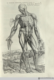 Andreas Vesalius (1514-1564). De humani corporis fabrica libri septum. Basel: Johannes Oporinus, 1543. The most famous illustrations are the series of fourteen muscle men, progressively dissected. Some figures, such as this one, are flayed. Hanging the muscles and tendons from the body afforded greater detail, not only showing the parts, but how they fit together.