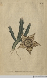 """This very singular plant is a native of the Cape of Good Hope, where it grows and flourishes with the Stapelia birfuta."" (Variegated Stapelia, plate 26, volume 1, 1793)"