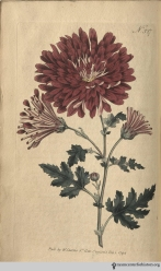 """We rejoice in the opportunity afforded us, of presenting our readers with the coloured engraving of a plant recently introduced to this country, which, as an ornamental one, promises to become an acquisition highly valuable."" (Indian Chrysanthemum, plate 327, volume 10, 1796)"