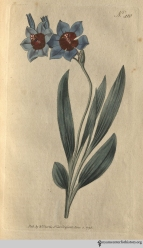 """The Ixia here represented was drawn last Summer from a specimen unusually fine, which flowered with Mr. Colvili, Nurseryman, King's-Road, May 24, 1797; it appears to be a very distinct species, not less distinguished for the singularity than the brilliancy of its colours, and is one of those recently imported from the Cape by way of Holland."" (Red-Blue Ixia, plate 410, volume 12, 1798)"