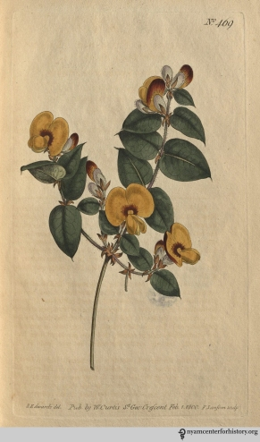 """It must be confessed there are few papilionaceous flowers more handsome, the buds in particular are inexpressibly rich in colour, these are produced from June to August, but are rarely succeeded by ripe seeds in this country."" (Large-Flowered Flat-Pea, plate 469, volume 14, 1800)"
