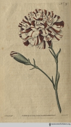 """The Carnation here exhibited is a seedling raised by Mr. Franklin, of Lambeth-Marsh, an ingenious cultivator of these flowers, whose name it bears: we have not figured it as the most perfect flower of the kind, either in form or size, but as being a very fine specimen of the sort, and one whose form and colours it is in the power of the artist pretty exactly to imitate."" (Franklin's Tartar, plate 39, volume 2, 1788)"