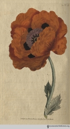 """Though a native of the East, as its name imports, it bears the severity of our climate without injury, flowers in May, and as its blossoms are extremely shewy, it gives great brilliancy to the flower-garden or plantation . . . "" (Eastern Poppy, plate 57, volume 2, 1788)"