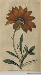 """""""The green-house, to which it properly belongs, can scarcely boast a more shewy plant; its blossoms, when expanded by the heat of the sun, and it is only when the sun shines on them that they are fully expanded, exhibit an unrivalled brilliancy of appearance."""" (Rigid-Leaved Gorteria, plate 90, volume 3, 1792)"""