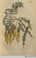 """""""A finer sight can scarcely be imagined than a tree of this sort, extending to a great breadth on a wall with a western aspect, in the Apothecaries Garden at Chelsea, where it was planted by Mr. Forsyth about the year 1774, and which at this moment (April 28, 1791) is thickly covered with large pendulous branches of yellow, I had almost said golden flowers; for they have a peculiar richness, which it is impossible to represent in colouring . . ."""" (Winged-Podded Sophora, plate 197, volume 5, 1792)"""