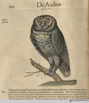 Barn owl from Gesner's Historia Animalium, Liber III.