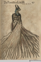 Bird of paradise from Gesner's Historia Animalium, Liber III.
