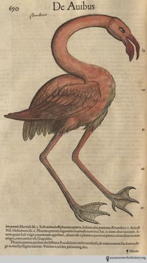 Flamingo from Gesner's Historia Animalium, Liber III.