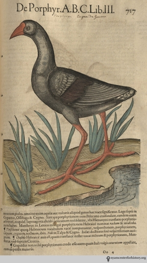 Purple swamphen? from Gesner's Historia Animalium, Liber III.