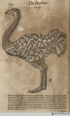 Ostrich from Gesner's Historia Animalium, Liber III.