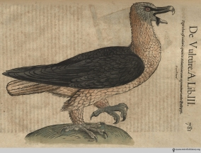 Vulture from Gesner's Historia Animalium, Liber III.