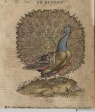 Peacock from Gesner's Historia Animalium, Liber III.