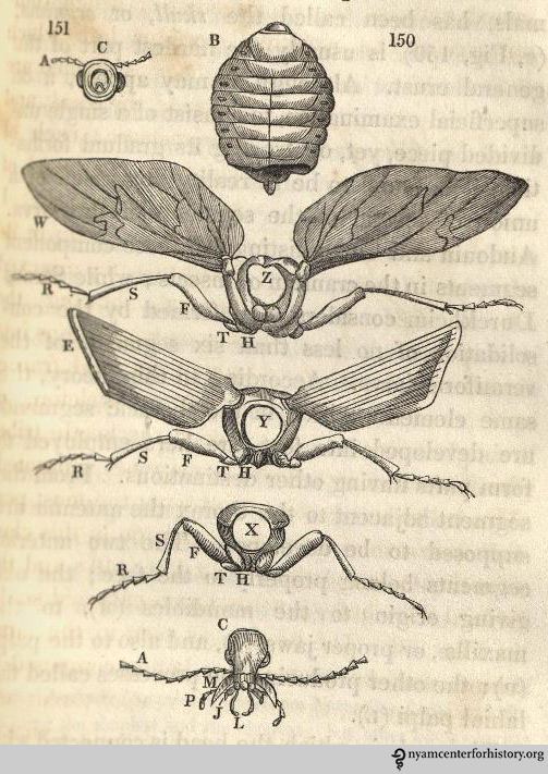 """Several detached segments, on an enlarged scale"" of the beetle Calosoma sycophanta. Animal and Vegetable Physiology, 1834, p. 321"