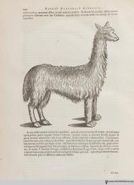 Llama or Peruvian sheep? Historia naturalis Brasiliae, 1648, page 244.
