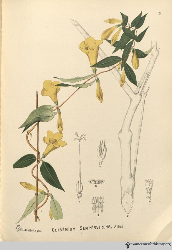 Gelsemium. In  Millspaugh, American Medicinal Plants, 1887.