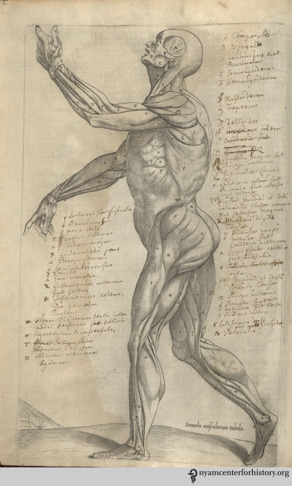 Image of annotated muscleman figure  in the Academy's copy of the 1559 English edition of Geminus'  Compendiosa. Click to enlarge.