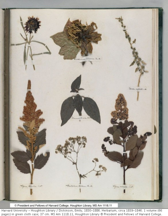 A page of Dickinson's herbarium, courtesy of Harvard University's Houghton Library.