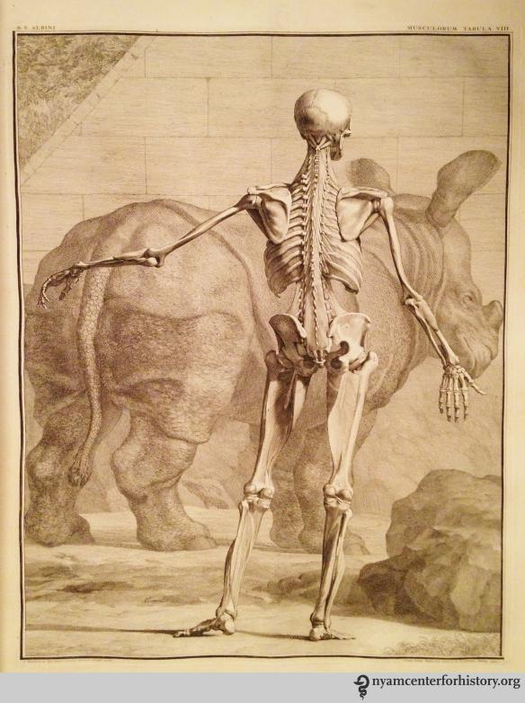 Tab. VIII in Albinus, Tabulae sceleti et musculorum corporis humani, 1749.