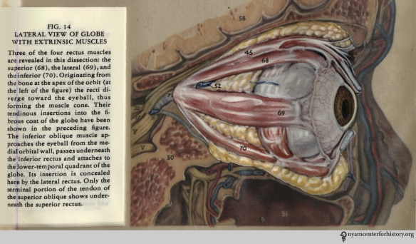 Figure 14 in Kronfeld, The Human Eye in Anatomical Transparencies, 1943. Click to enlarge.