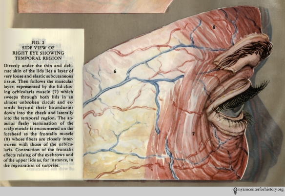 Figure II in Kronfeld, The Human Eye in Anatomical Transparencies, 1943. Click to enlarge.