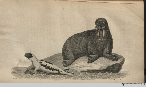 godman_americannaturalhistory_1826_v1_harpseal_walrus_watermark