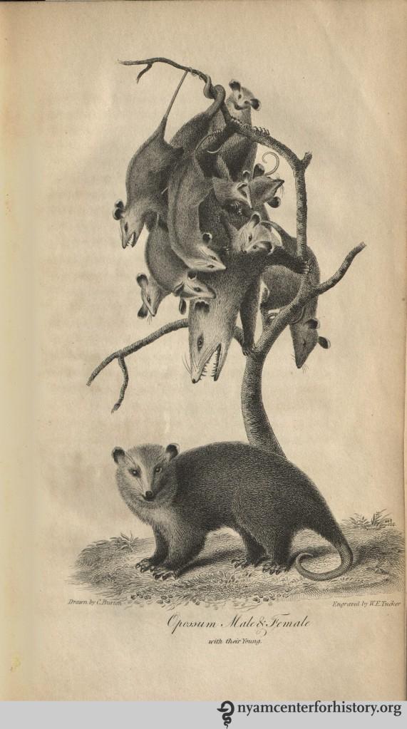 godman_americannaturalhistory_1826_v2_opossums_watermark