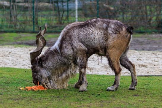 Berlin_Tierpark_Friedrichsfelde_12-2015_img02_Markhor.jpg