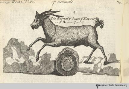 pomet-bezoar-goat-_1725_watermarked