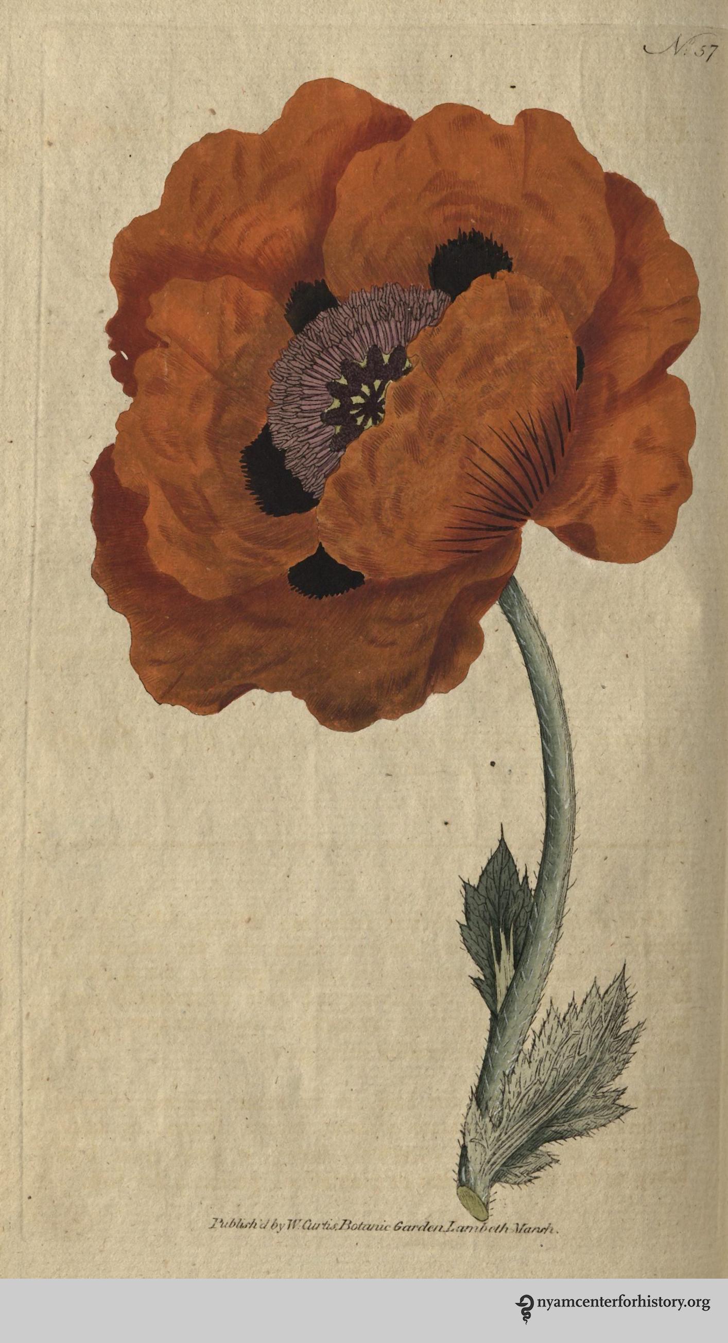 curtis-botanical-v2-1788_plate57_EasternPoppy_watermark