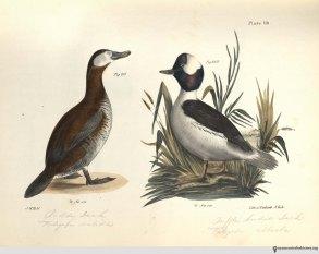 NatHistofNY_birds_1843_plate118_watermark