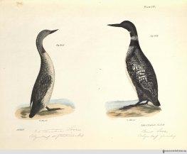 NatHistofNY_birds_1843_plate137_watermark