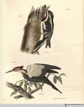NatHistofNY_birds_1843_plate18_watermark