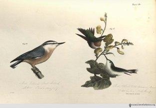NatHistofNY_birds_1843_plate40_watermark