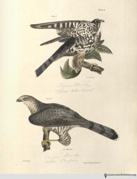 NatHistofNY_birds_1843_plate4_watermark