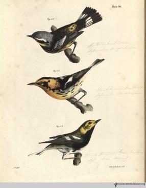 NatHistofNY_birds_1843_plate50_watermark