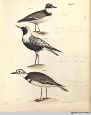 NatHistofNY_birds_1843_plate79_watermark