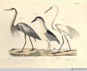 NatHistofNY_birds_1843_plate81_watermark