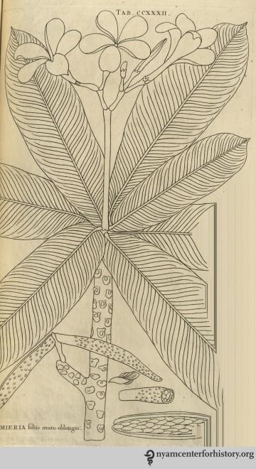 burman_plantarumamericanum_1755_plumeria_watermark